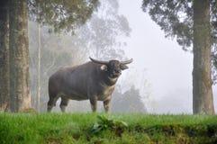 Большой буйвол Стоковые Фотографии RF