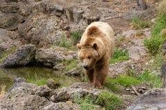 Большой бурый медведь в природе Стоковая Фотография