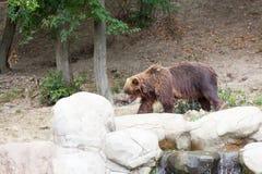 Большой бурый медведь Камчатки Стоковая Фотография