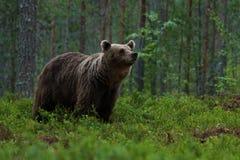 Большой бурый медведь обнюхивая в древесинах стоковые изображения