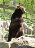 Большой бурый медведь стоя на задних ногах Стоковые Изображения