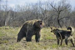 Большой бурый медведь с собакой стоковое фото