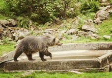 Большой бурый медведь Стоковое Фото