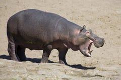 Большой бык гиппопотама идя на берег реки Стоковая Фотография