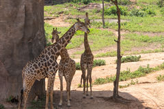 Большой бык жирафа 3 Стоковые Фото