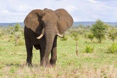 Большой бык слона при большие бивни причаливая над равниной стоковое изображение