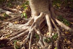 большой вал корня Стоковые Фото
