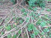 большой вал корня Стоковое Фото