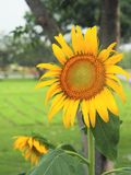 большой взгляд солнцецвета крупного плана цветения Стоковая Фотография RF
