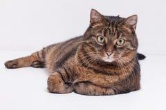 Большой взрослый кот tabby кладя на сторону. Изолированный на белом backgrou Стоковая Фотография RF