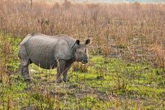Носорог в Kaziranga Стоковые Изображения RF