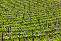 большой виноградник Стоковые Фотографии RF