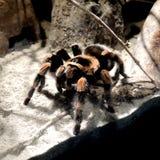 Большой волосатый паук Стоковое фото RF