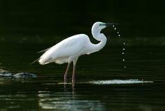 Большой выпивать egret Стоковая Фотография RF