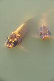 Большой вырезуб золота рыб в озере Стоковые Изображения