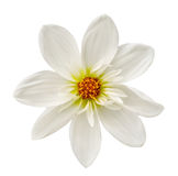 Большой георгин цветка стоковое фото