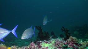 Большой голодный тунец в поисках еды на ноче на рифе видеоматериал