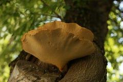 Большой грибок дерева на дереве Стоковая Фотография