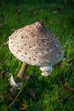большой гриб Стоковое Фото