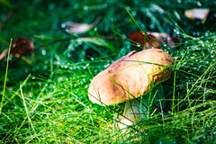 большой гриб Стоковое фото RF