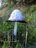 большой гриб Стоковые Изображения