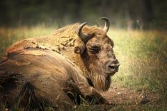 Большой европейский бизон отдыхая на земле стоковые фото