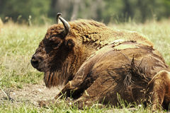 Большой европейский бизон стоковое изображение