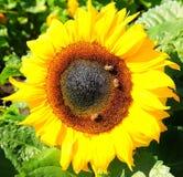 Большой желтый солнцецвет при пчелы собирая цветень Стоковое Изображение