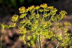 Большой желтый цветок укропа Стоковое фото RF