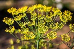 Большой желтый цветок укропа Стоковые Фотографии RF