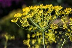 Большой желтый цветок укропа Стоковые Изображения RF
