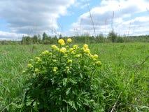 большой желтый цвет цветков Стоковое Изображение RF