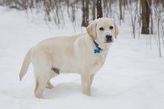 Большой желтый щенок лаборатории стоя в снежке Стоковые Изображения