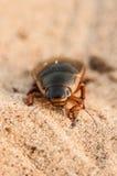 Большой жук подныривания (marginalis Dytiscus) Стоковое фото RF