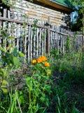Большой завод глобус-цветка с шаровидными желтыми или оранжевыми цветками, Стоковые Изображения