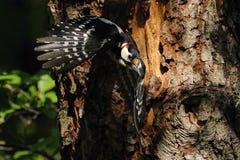 Большой запятнанный майор Dandrocopos Woodpecker в полете стоковые фотографии rf