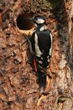 Большой запятнанный майор Dandrocopos Woodpecker стоковые изображения