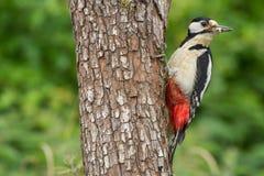 Большой запятнанный майор Dendrocopos Woodpecker на стволе дерева Стоковые Фото