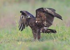 Большой запятнанный орел Стоковое Фото