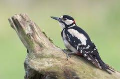 Большой запятнанный woodpecker (майор dendrocopos) Стоковые Изображения