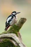 Большой запятнанный woodpecker (майор dendrocopos) Стоковое Фото