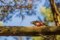 Большой запятнанный Woodpecker на ветви Стоковая Фотография RF