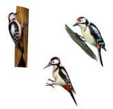 Большой запятнанный Woodpecker на дереве бесплатная иллюстрация