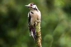 Большой запятнанный Woodpecker на окуне Стоковое Изображение