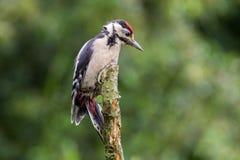 Большой запятнанный Woodpecker на окуне Стоковое Фото