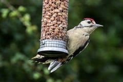 Большой запятнанный Woodpecker на фидере гайки Стоковые Изображения RF