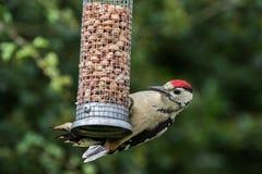 Большой запятнанный Woodpecker на фидере гайки Стоковое Изображение