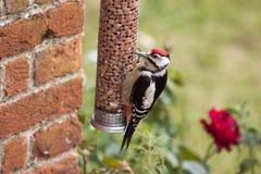 Большой запятнанный Woodpecker на фидере гайки Стоковые Фотографии RF