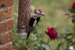 Большой запятнанный Woodpecker на фидере гайки Стоковое Изображение RF