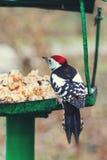 Большой запятнанный Woodpecker на фидере птицы (майор Dendrocopos) Стоковое Изображение RF